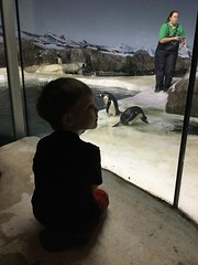 "Paul Watches Penguins at the Kansas City Zoo • <a style=""font-size:0.8em;"" href=""http://www.flickr.com/photos/109120354@N07/29676089368/"" target=""_blank"">View on Flickr</a>"