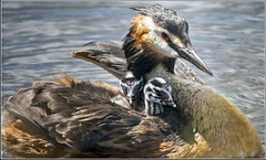 great crested grebe with chicks (hibbygeorge) Tags: water bird naturalworld greatcrestedgrebe greatcrestedgrebewithchicks