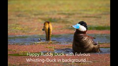 Ruddy Duck and Fulvous Whistling Duck  stills with FW Duck audio by Paul Marvin (pekabo90401) Tags: dendrocygnabicolor pekabo90401 southerncaliforniabirds birdwatching birdwatchinglosangeles ballona ballonafreshwatermarsh rarebird playavista birdsofballona birdsofplayavista ducks wesen marshmonkey lifer lifebird lightroom lastvideohadgrebecallnottheduck eend vogel