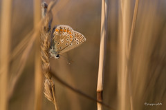 Common blue (Jongejan) Tags: commonblue icarusblauwtje butterfly insect macro closeup nature wildlife sunset grass bokeh outside icarus countryside