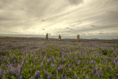 Stonemen (Kiddi Einars) Tags: stone stones stonemen steinar steinn lupines lupine