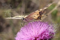 butterfly at Lucus Feronia 2018_10