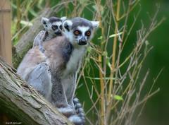 Kattamutter mit Kind (sigridspringer) Tags: natur tiere säugetiere primaten kattas berliner tierpark