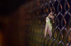 cicada leaving its shell (Beau Finley) Tags: cicada shell dc clevelandpark washingtondc districtofcolumbia bug insect beaufinley macro