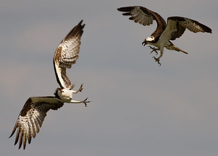 IMG_4327 Osprey Confrontation