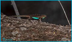 "_03A8021 ""Flash Dance"" Ornate Tree Lizard ©Dancing Snake Nature Photography (Dancing Snake Nature Photography) Tags: arizona nature photography dancingsnakenaturephotography reptiles ornatetreelizard display tucson"
