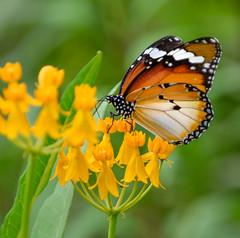 Plain tiger on yellow flowers (Robert-Ang) Tags: plaintiger insect wildlife nature jurongecogarden singapore