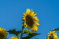 _DSC2621 (Simply Angle) Tags: sony sonyphotography sonyphotographing deerparkwa deerpark washington washingtonstate sunflower sunflowers flowers yellow green ilce7m2 ilce a7ii sonya7ii summer bright field nature sunlight fe70300mmf4556goss