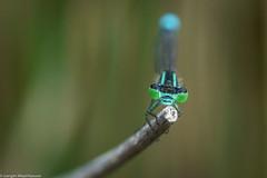 Schau mir in die Augen (J.Weyerhäuser) Tags: mainz botanischergarten blume insekten libelle ast dragonfly