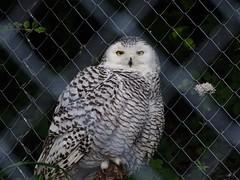 Snowy owl female (Nemoleon) Tags: june 2018 zoozürich dsc00920 snowyowl buboscandiacus