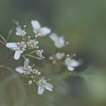 Coriander flowers... thumbnail