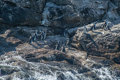 More Penguins (zenseas) Tags: africa algoabay sunny southafrica whitebreastedcormorant africanpenguin indianocean vacation holiday spheniscusdemersus stcroixisland wild