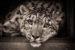 _DSC2488.jpg (sylvainbenoist) Tags: photo mammifères pantheredesneiges félins nature chordés animaux nb panthere chordata irbis pantherauncia snowleopard unciauncia
