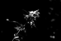 Blossoms - Blüten (b_kohnert) Tags: bw blackandwhite schwarzweis monochrome blossoms blüten