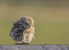 Owlet (Nigey2) Tags: owl owlet bird birds baby sunrise