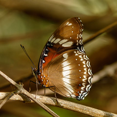 Common eggfly butterfly (ROGERBEE.) Tags: australia australianbutterflies butterfliesandmoths queensland