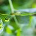 Delicate cycnia moth