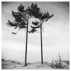 2 Pines (Mark Dries) Tags: markguitarphoto markdries hasselblad500cm distagon carlzeiss 50mmf40 fp4 ilfordfp4 r09 125 900 selenium fomabrom wa warmtone