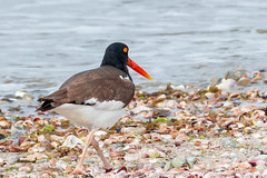 Oystercatcher (mattbpics) Tags: oystercatcher canon 70d tamron 150600 150600mm nature wildlife stratford connecticut longbeach shorebird