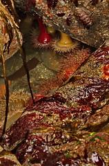 Canon EOS 5D Mark IV - 0C4A0366.tif 6400 iso (rogerbtree) Tags: marinelife lowtide seaanemone starfish macro canon5div edmondsferry pugetsound