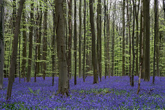 Hallerbos, Belgium. (廖法蘭克) Tags: carl carlzeiss contaxcarlzeissplanar85mmf14t canon 6d belgium 比利時 hallerbos bluebells 風信子 blueforest 藍色森林 花 flower frankineurope frank photographer photography photograph nature 自然 森林 forest spring 春天 bloom 盛開