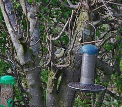 Great Tit 140418 - DSC_0288 (Leslie Platt) Tags: exposureadjusted straightened cheshirewestchester redhillcottages gardenbirds greattit