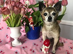 Buster Valentine 2018 (irene_joy) Tags: heart pink tulip valentine dog chihuahua buster
