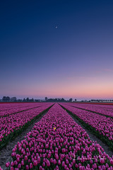 To the moon (Ellen van den Doel) Tags: 2018 spring netherlands voorjaar flower nederland outdoor bloemen tulp workshop tulip lente cursus tulpen tulips field april