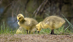 Goslings (Kevin James54) Tags: canadageese canadagoose nikond850 tamron150600mm animals avian bird brantacanadensis kevingianniniphotocom