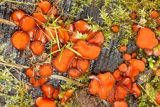 Eyelash fungus and springtail