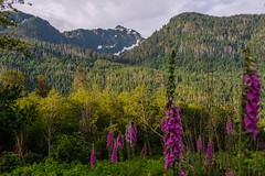 Lovely Forest Along Alberni Road (MIKOFOX ⌘ Thanks 4 Your Faves!) Tags: canada flowers mountain xt2 forest learnfromexif july landscape provia hills burn fujifilmxt2 mikofox showyourexif snow xf18135mmf3556rlmoiswr