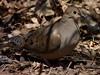 Mourning Dove (Dendroica cerulea) Tags: mourningdove zenaidamacroura zenaida leptotilinae columbidae columbiformes columbimorphae neoaves neognathae neornithes aves birds dove garden spring highlandpark middlesexcounty nj newjersey