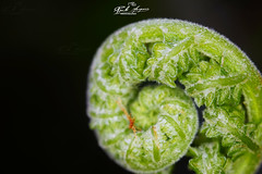 O_DESPONTAR_DE_UMA_NOVA_VIDA_SUPER_MACRO_&_BOKEH (paulomarquesfotografia) Tags: paulo marques sony a7 inverted lens pentaxm 50mm f17 super macro bokeh litlle flower green lente invertida pequena flor verde
