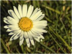 Gänseblümchen.. (Heinze Detlef) Tags: pflanze blume gänseblümchen rasen blüte masliebchen tausendschön monatsröserl marriti