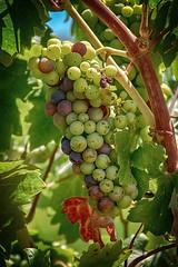 Veraison Time (lennycarl08) Tags: zinfandel grapes vineyard bellawinery drycreekvalley sonomacounty wine winecountry