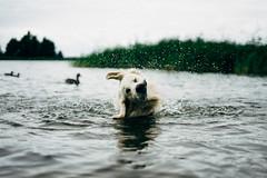 Charlie shaking off water, in the water... (Fredrik Forsberg) Tags: sweden värmland summer overcast sonya7ii