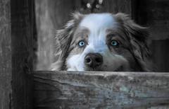 30-52 - Della, Ever Watchful (janecumming33) Tags: 52weeksfordogs australianshepherds aussies dogs pets