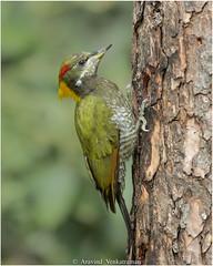 Lesser Yellownape Woodpecker (Aravind Venkatraman) Tags: av aravindvenkatraman birds birdsofindia indianbirds picus chlorolophus picuschlorolophus lesser yellownape woodpecker lesseryellownapewoodpecker