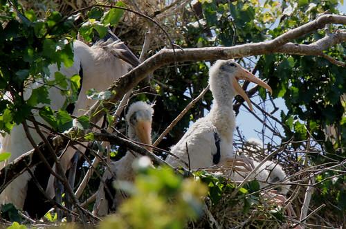 Baby stork in the nest.