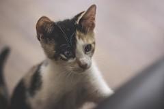 IMG_4045 (pungpungfish) Tags: pet cat animal calicocat calico kitten portait animalphotography portrait photography 50mm canon