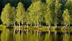 Lake Kirkkolampi (Rovaniemi, 20180718) (RainoL) Tags: 2018nf crainolampinen 2018 201807 20180718 finland fz200 geo:lat=6649257400 geo:lon=2572279500 geotagged july kirkkolampi lake lapland lappi rovaniemi summer water fin tree trees birch betula reflection clr green