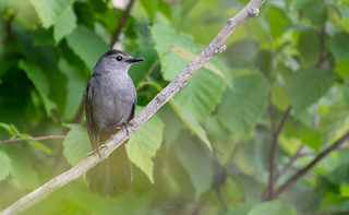Moqueur chat // Gray Catbird