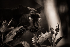 _DSC1810.jpg (sylvainbenoist) Tags: photo mammifères félins nature chordés leopard animaux nb panthere chordata pantherapardus
