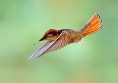 Ruby Topaz Hummingbird in flight. (Chrysolampis mosquitus) (pedro lastra) Tags: hummingbird flight macro action bokeh tropical bird chrysolampismosquitus