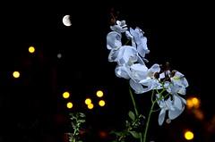 Orquidea (JCMCalle) Tags: image photohoot fhotografy photofrapher nofilter naturaleza nature naturephotography nofilters jcmcalle flores flor flower flowers blossom blossoms fleur orquidea luna boken