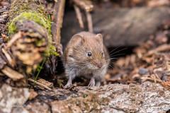 Bank vole - Eye level D85_2570.jpg (Mobile Lynn) Tags: bankvole vole rodents nature fauna mammal mammals rodent rodentia wildlife coth specanimal