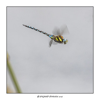 Poetry in motion - Migrant Hawker dragonfly