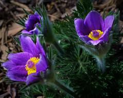 Pasqueflower Trio (j-rye) Tags: sonyalpha sonya6000 sony a6000 ilce6000 mirrorless flower plant pasqueflower garden rokkorx