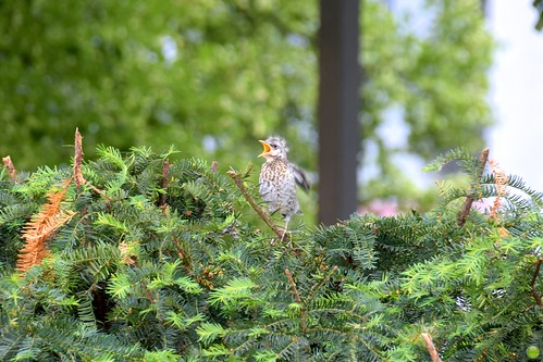 Fieldfare chick is hungry