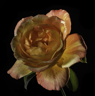 Back Lit Orange And Yellow Rose